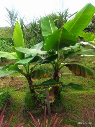 Banana Cavendish