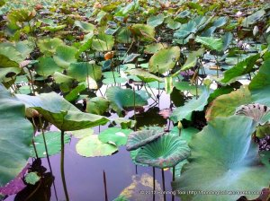 Lotus Leaves1©BondingTool