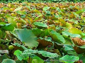 Lotus Leaves2©BondingTool