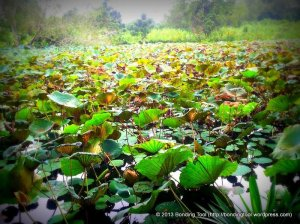 Lotus Leaves3©BondingTool