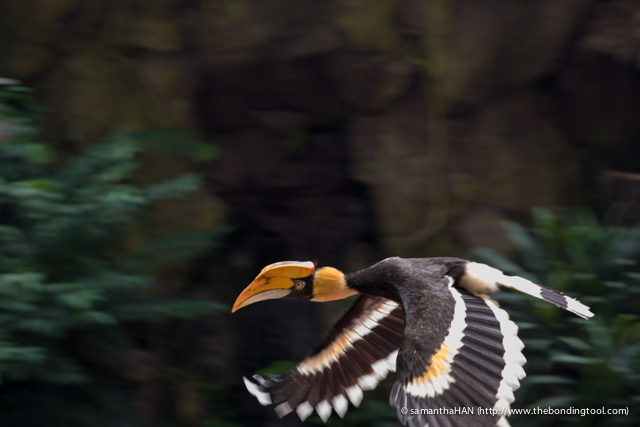 Rufus Hornbill