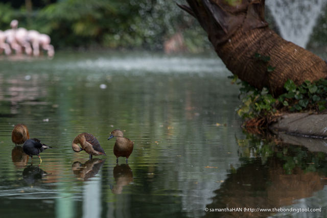 Javan Tree Duck