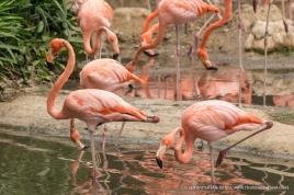 Caribbean Flamingos